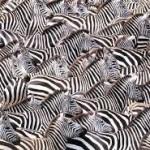 """【続報】adidas Yeezy Boost 350 V2 """"Zebra"""" 【ゼブラwww】"""